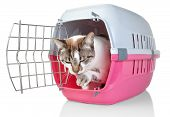 European cat in cage licking his paw. On a white background. poster