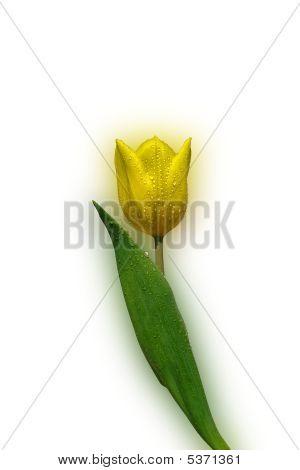 Yellow Tulip Tulipa - On White Background