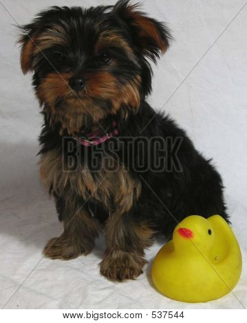 Yorkie Pup And Rubber Duck