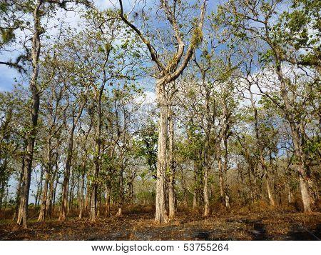 teak trees