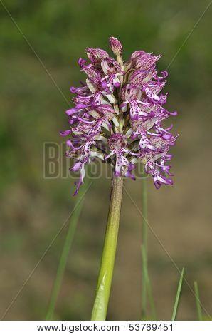 Lady x Monkey Orchid Hybrid