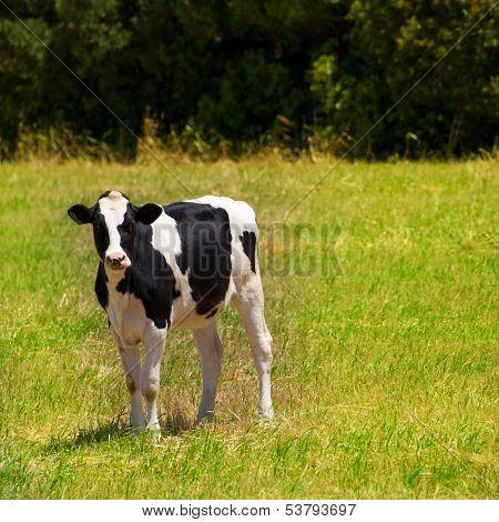 Menorca Friesian cow grazing in green meadow at Balearic Islands of Spain