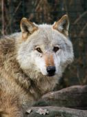 Gray wolf (Canis lupus) also known as the timber wolf or simply wolf is the largest wild member of the Canidae family. Once abundant over much of Eurasia and North America the gray wolf inhabits a very small portion of its former range. poster
