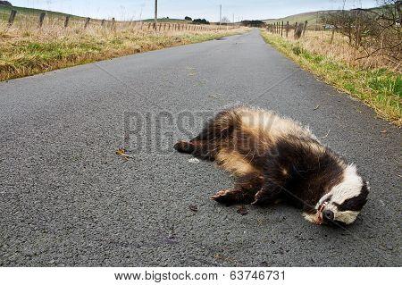 Road Kill Badger