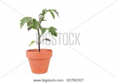 Terracotta Planter With Large Tomato Plant
