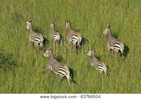 Aerial view of Hartmanns Mountain Zebras (Equus zebra hartmannae) in grassland, South Africa