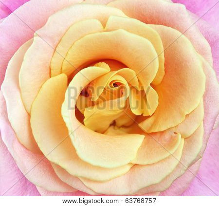 Close Up Of Pink And Yellow Rose Petals. Flower A Close Up