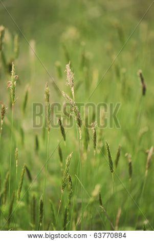 Summer Grass Close-up