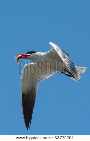 A Caspian Tern In Flight With A Fish