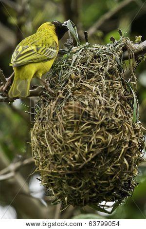 Weaver Bird Building A Nest