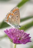 Small spotted copper-butterfly sits on a clovers flower poster