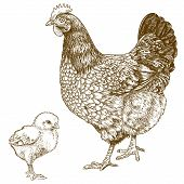 vector illustration of engraving chicken and chick on white background poster