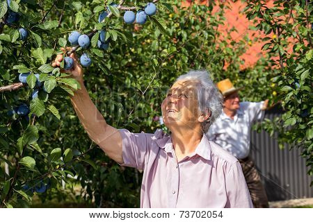 Retiree woman checks plums in the orchard