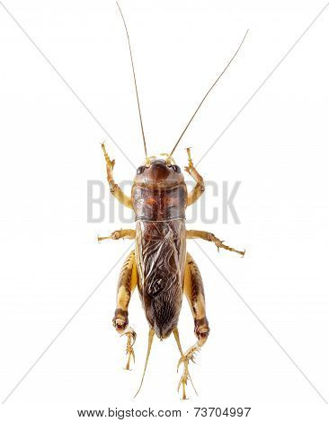 Cricket (gryllus)  On White Background.