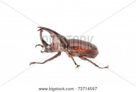 Rhinoceros Beetle Isolated On White Background.