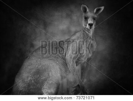 Australian Kangaroo (macropus Giganteus)  In Black And White