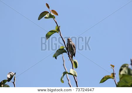 House Finch (F) (Haemorhous mexicanus)