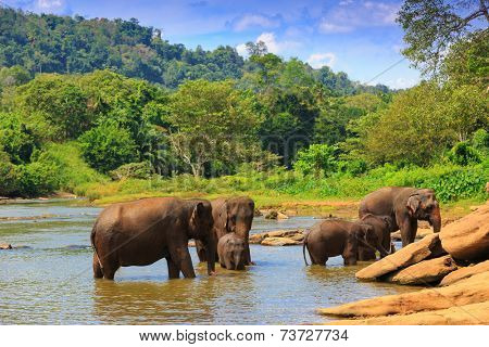 Elephants in river. Take in Pinawelle park, Sri Lanka