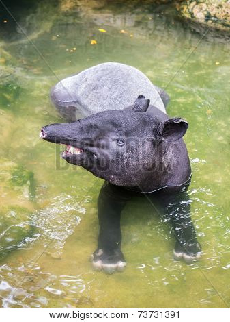 Tapir In Shallow Water