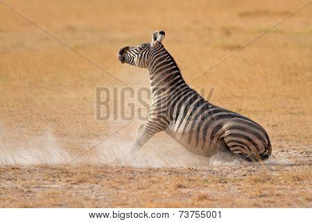 Plains zebra (Equus burchelli) in dust, Amboseli National Park, Kenya