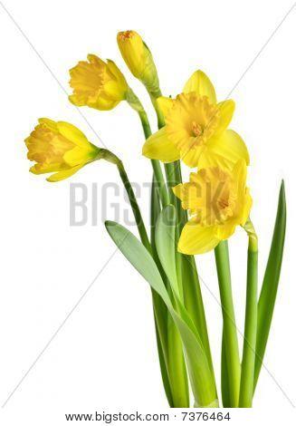 Spring Yellow Daffodils