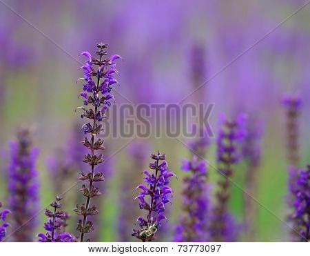 Bright Purple Lavanda Flowers In The Field