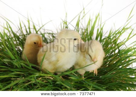 nestlings on cluster of grass on bright background poster