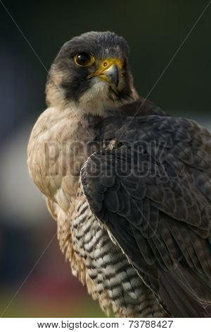 Close-up Of Peregrine Falcon Looking Into Distance