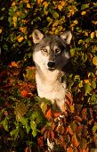 Grey Wolf portrait surrounded by fall foliage. poster