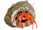 hermit crab isolated on a white background poster