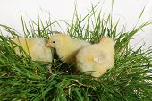 the nestlings on cluster of grass on bright background poster