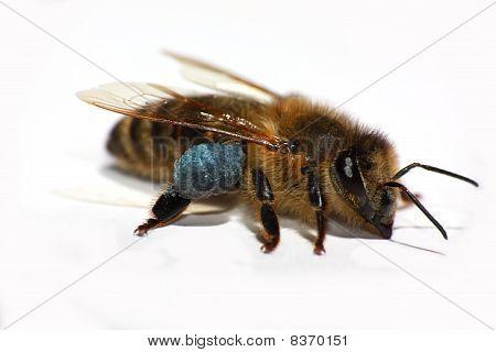 Detail of a Honeybee