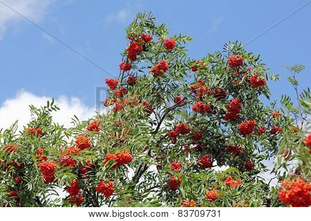 Branches With Ripe Rowan-berries, Sorbus Aucuparia
