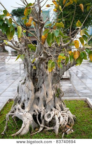 Bonsai Tree In Temple Linh Ung Pagoda Vietnam Danang