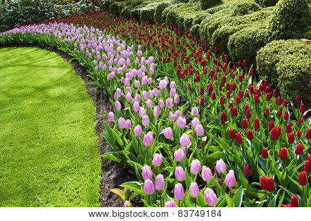 Keukenhof gardens natural park waves of red and pink tulips