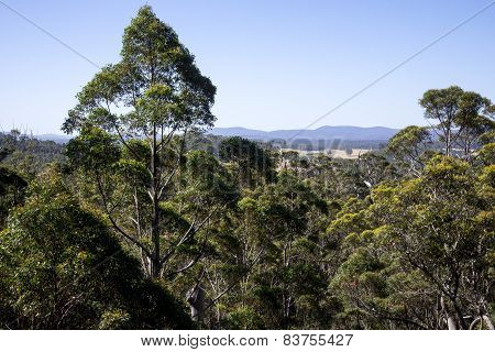 A giant tingle trees landscape from a Tree Top Walk bridge in Walpole-Nornalup National Park