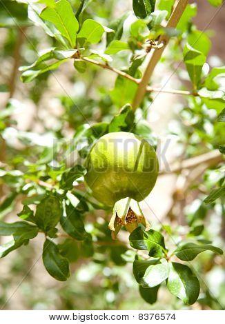 Pomegranat