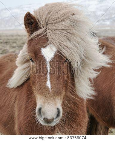 Icelandic Horse (Equus ferus caballus) closeup, staring at camera. poster