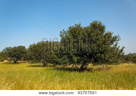 View Of An Carob Tree Orchard In A Field Cyprus
