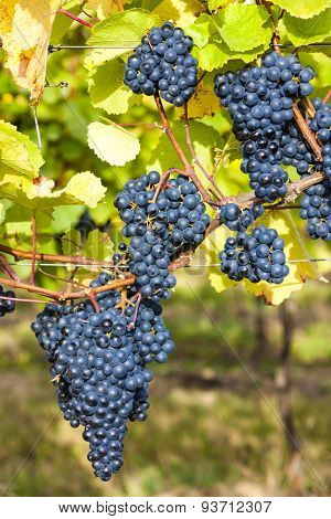 blue grapes in vineyard, Southern Moravia, Czech Republic