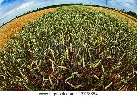 Different Varieties Of Wheat In Fish-eye View 1