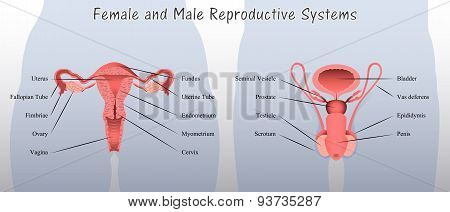 Female and Male Reproductive Systems Diagram