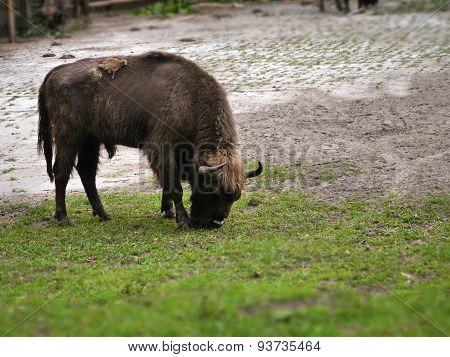 Aurochs On Green Grass
