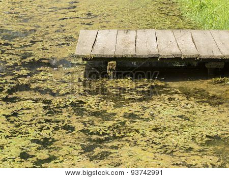Water full of algae and a wooden pier. poster