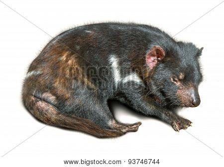 Tasmanian Devil sleeping