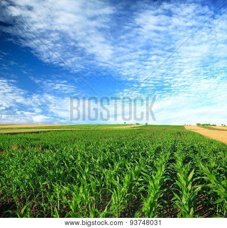 green, maturing corn