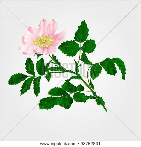 Flower Eglantine Vector