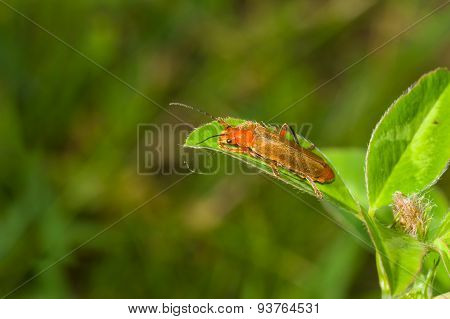 Common red soldier beetle sitting on green leaf