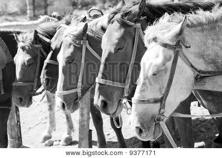 Brown horses on ranch at corral. In B/W poster
