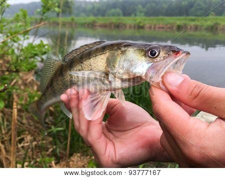 Freshly caught zander. Catch fisherman.